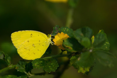 A photograph of a Three-Spot Grass Yellow taken in Thalangama, Sri Lanka
