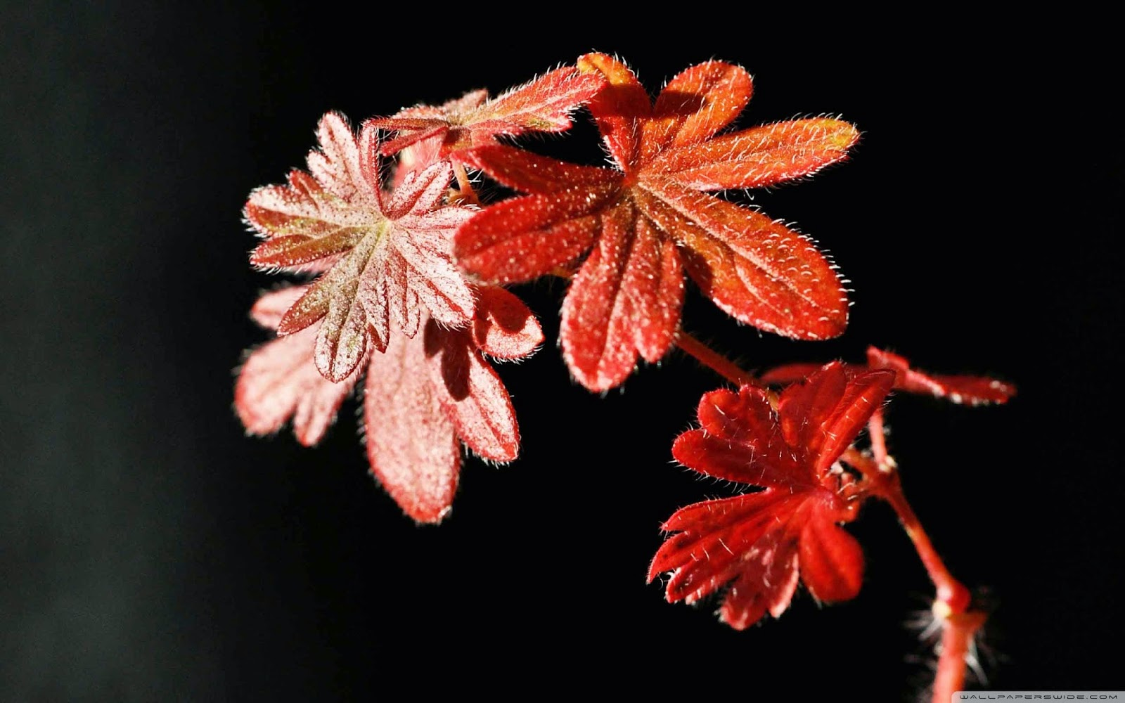 autumn red plant wallpaper