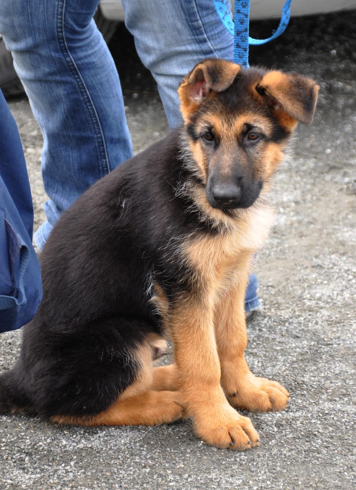 Puppy german shepherd husky mix