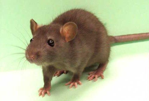 Cuidado: Estación en Curva: Las ratas poseen la mordida \'más eficaz ...