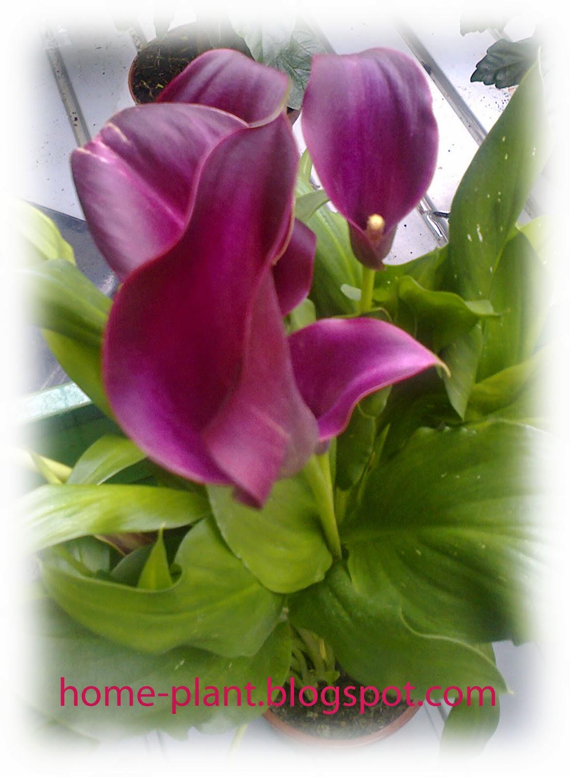 Коала комнатный цветок