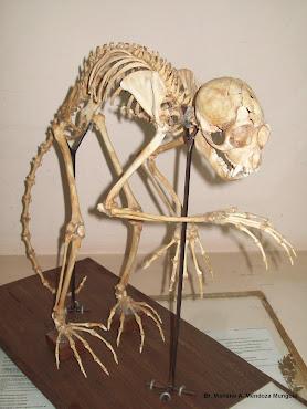 Esqueleto de Mono Cara Blanca