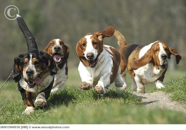 [Image: basset_hounds_running_outdoors_iai012000938.jpg]