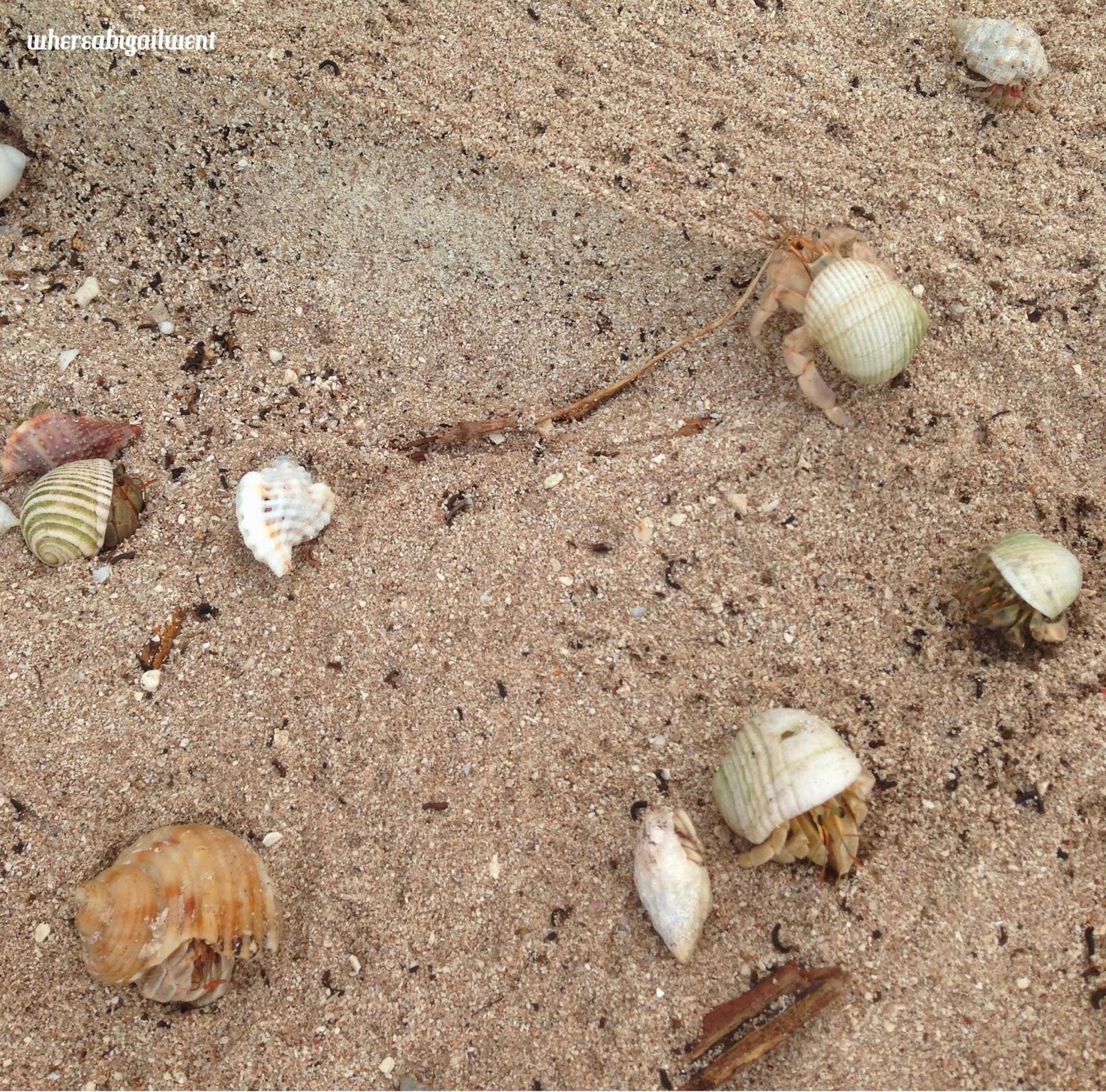 Amilla Fushi Beach Hermit Crabs