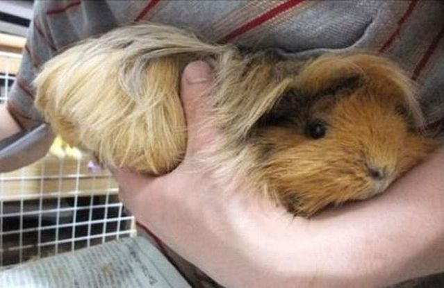 A guinea pig with long hair, guess the animal, guinea pig pictures