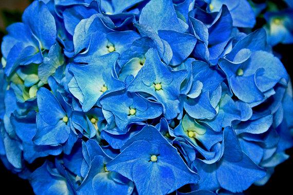 Hydrangea Fine Art Photo by The Photo Impression #hydrangea #flower #sapphire