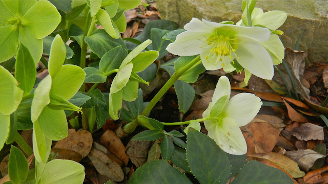 Hellebore with green blossoms