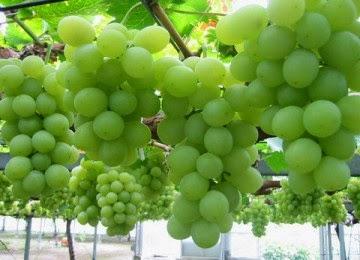 cara menanam anggur dengan mudah