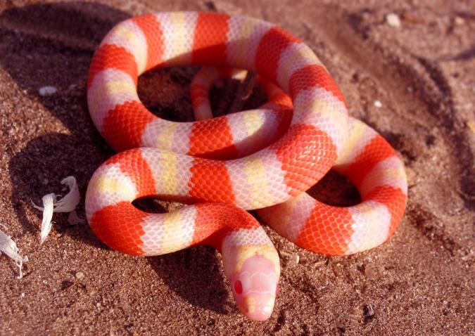 Albino Snake Europe Species Of European Viperinae