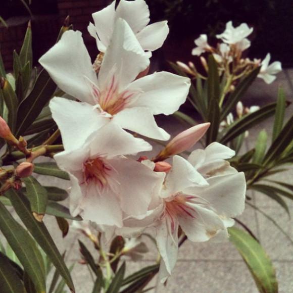 flowers, Santiago, Chile, iPhoneography Selection January 7 2013,pablolarah,Pablo Lara H Blog