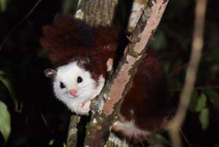 Foto Tupai Red And White Giant Flying Squirrel (Petaurista alborufus)