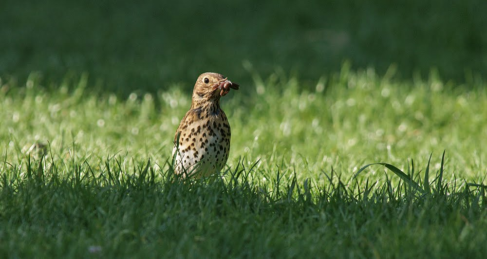 The Shadoxhurst Garden: Song Thrushes are successfuly breeding