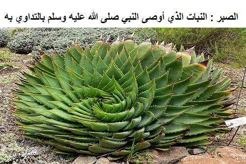 الطب النبوي لنبات الصبر %D8%A7%D9%84%D8%B5%D8%A8%D8%B1