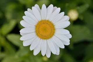 picture of Shasta daisy