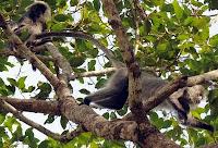 gangster monkeys