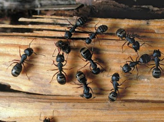 Carpenter Ant Pest