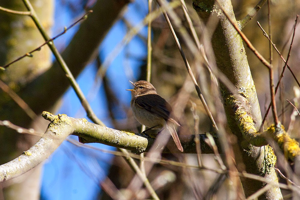Chiffchaff in full song - Loughton Valley Park, Milton Keynes