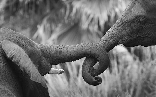 romantic elephants, wallpapers, nature, desktop, HD, HQ, tapandaola111