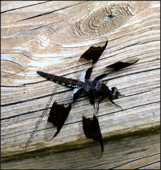 common whitetail skimmer dragon fly juvenile male photo image
