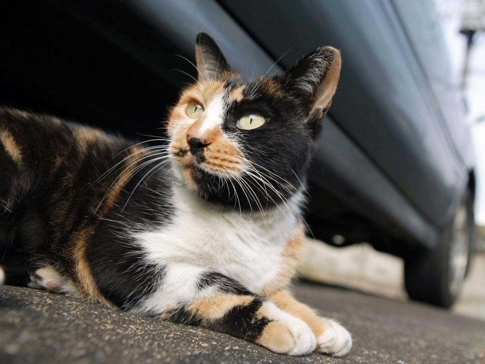 Cat Breeds Pictures Information