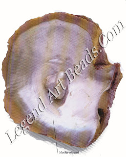 The best pearls corn from oysters and mussels. A Pinctada maximum is the largest pearl oyster. It is found in the seas around Australia and Malaysia.