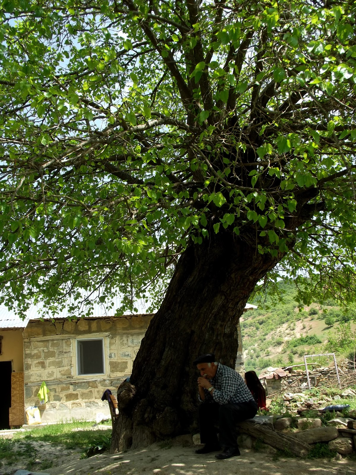 Rüyada Kavak Ağacı Görmek Tırmanmak Ve Kesmek Görmek