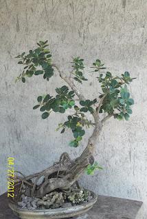 bonsai piskes korea