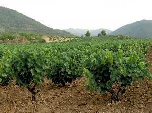 vino de la tierra Abanilla