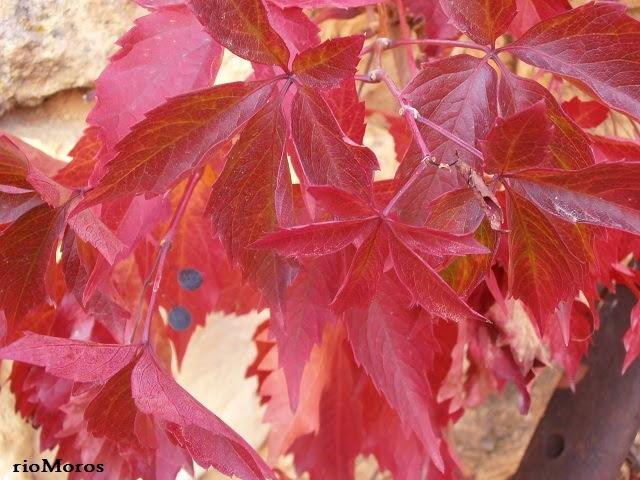 PARRA VIRGEN: Parthenocissus quinquefolia