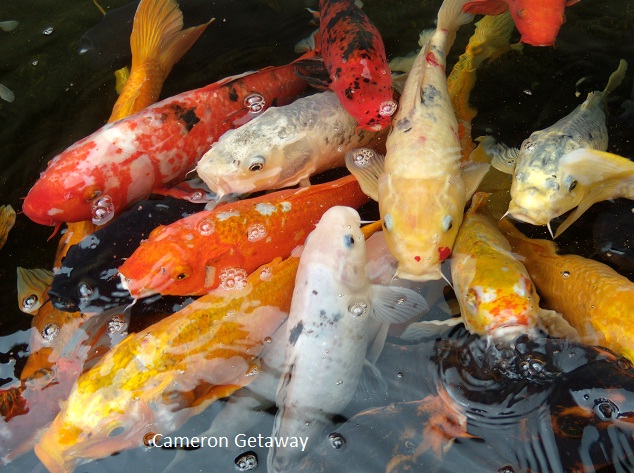 Plan and travel peace and quiet at sam poh temple for Koi fish near me