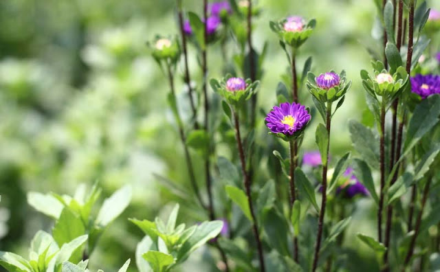 China Aster Flowers Pictures
