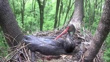 Gemenci fekete gólyafészek webkamera