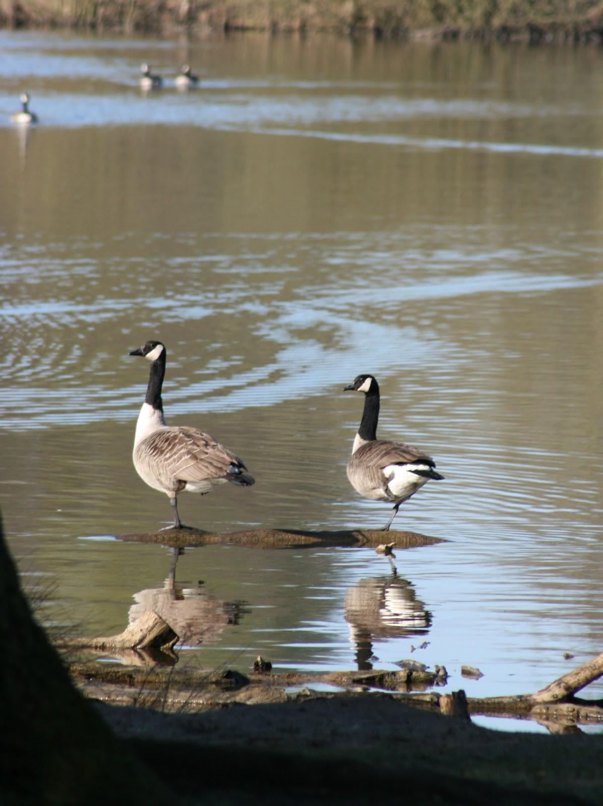 Canada goose london