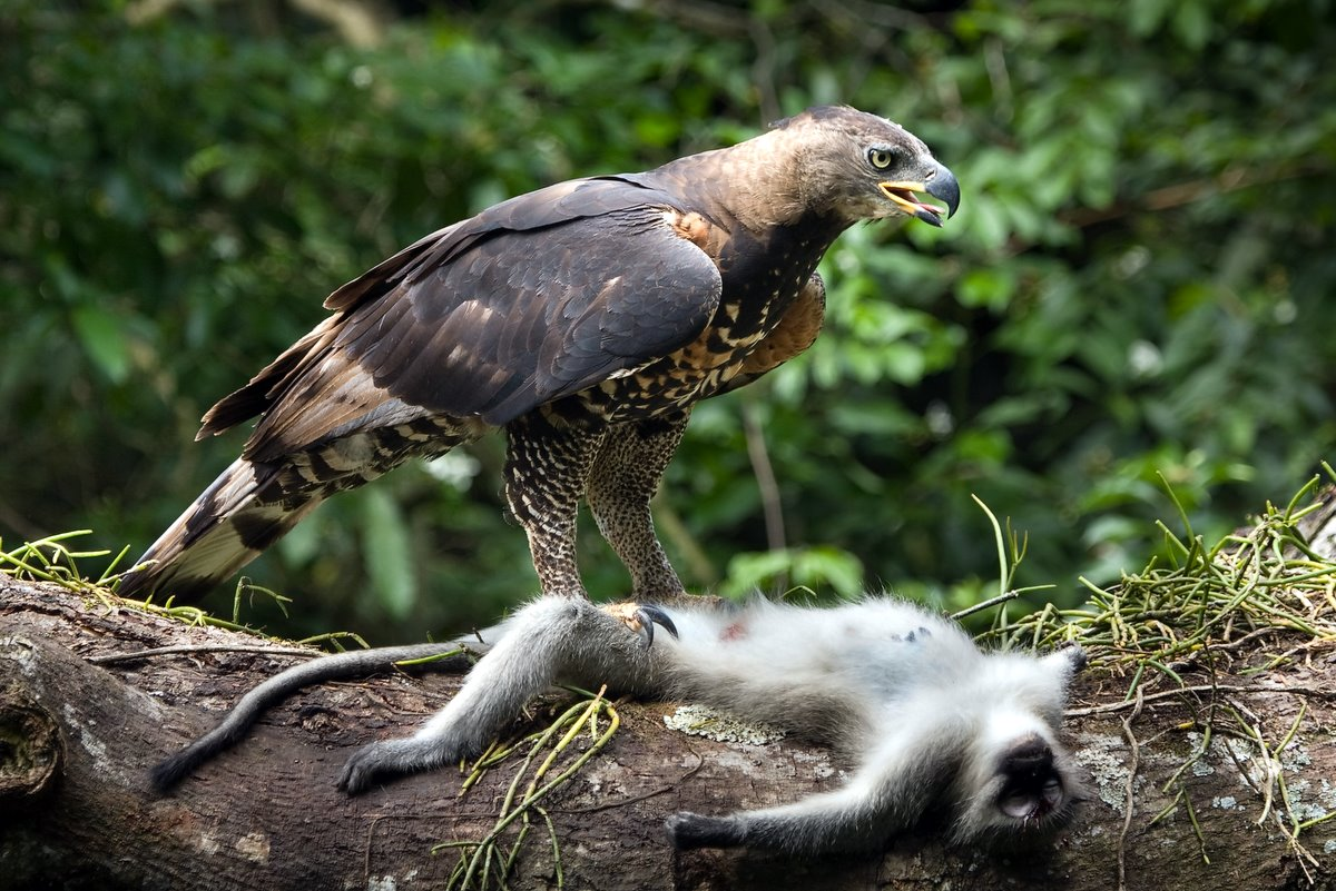 Crowned Eagle with Vervet Monkey prey - Here's an image that has done ...