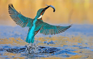 blue kingfisher flying out of the water wings spread with a small silver fish in its beak