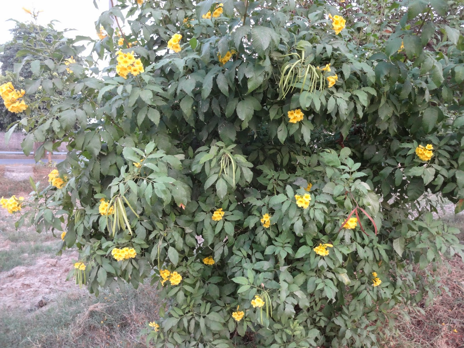 Plants of lahore tecoma stans yellow trumpet flowers shrub tikoma tecoma stans yellow trumpet flowers shrub tikoma mightylinksfo
