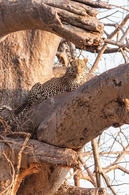 male leopard ruaha tanzania mdonya