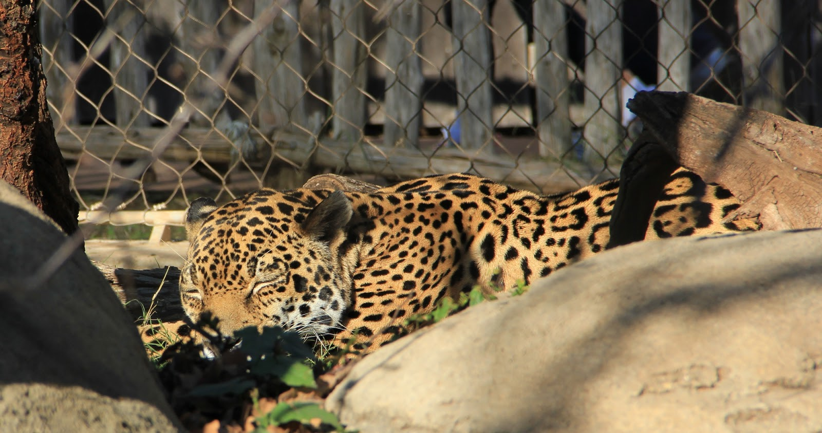 jaguars 2 essay 4 days ago  the jaguar is the largest feline on the american continent, and is the only one of  the world's  jaguars are closely related to leopards and have a number of  similar  2 david burnie, kingfisher (2011) the kingfisher animal.