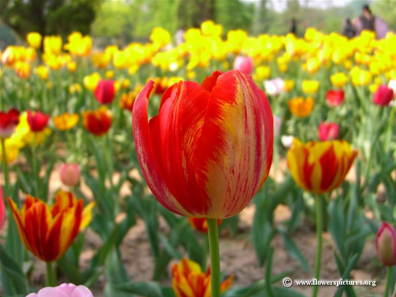 Natural HD Wallpaper Tulips Tulips Desktop Wallpapers