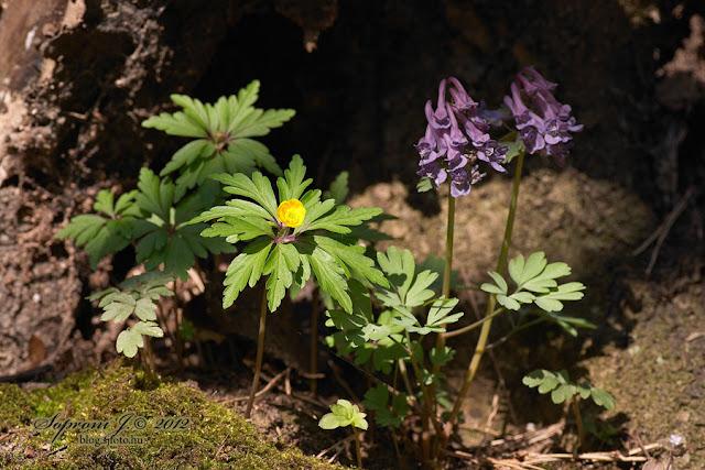 Bogláros szellőrózsa és ujjas keltike (Anemone ranunculoides & Corydalis solida)