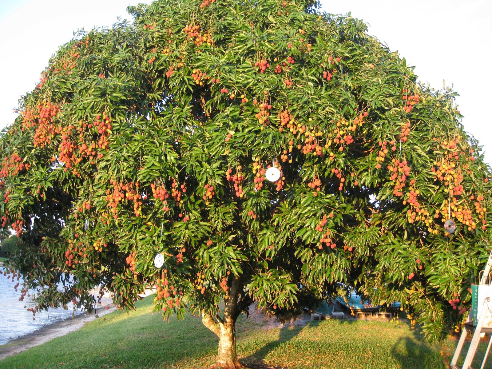 Wallpaper lychee gift of nature for Fruit trees