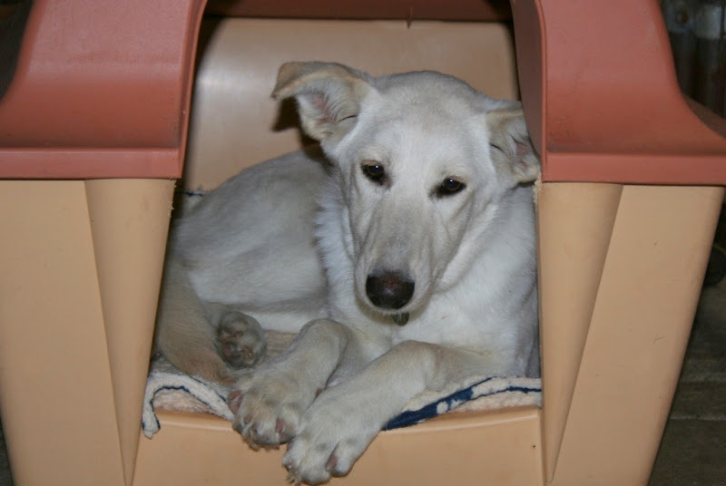 pretty white dog with hints of gold, curled up inside dog house, she has a pointy black nose and long ears