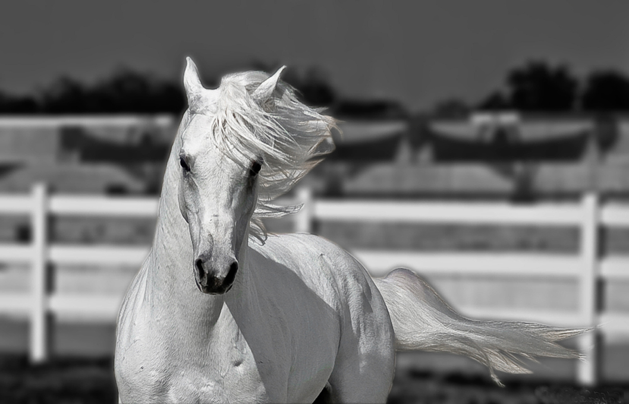 Popular   Wallpaper Horse Silver - white-horse-gallop-image  Picture_619510.jpg
