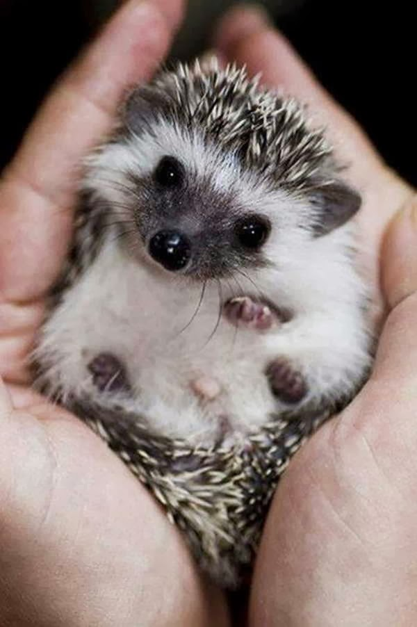 Funny animals of the week - 10 January 2014 (35 pics), cute baby hedgehog