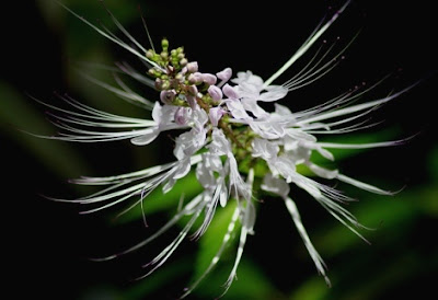 Benefits of cat's whiskers to treat kidney stone
