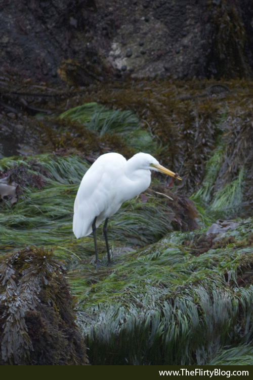 Giant White Egret, Gunnel Fish