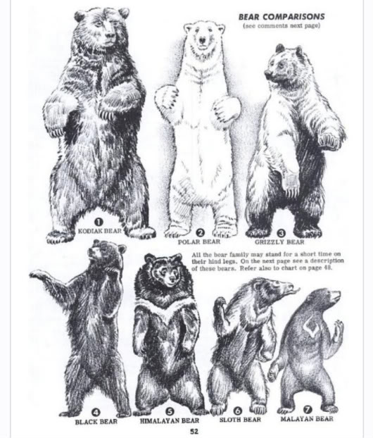 Bear Size Chart | Car Interior Design Bear Species Chart