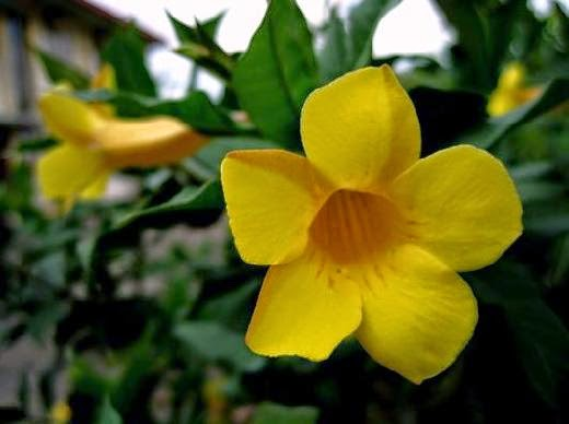 How to Plant and Benefits Alamanda