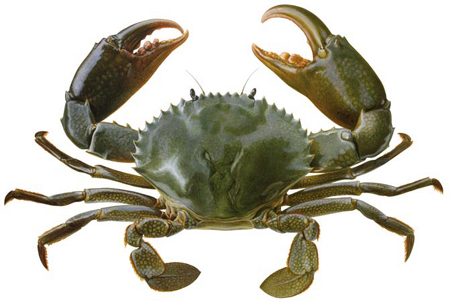 Crab Wild Life Animal