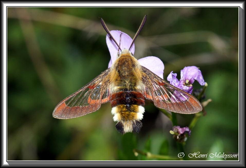 photos araign es insectes fleurs henri maleysson sphinx colibri. Black Bedroom Furniture Sets. Home Design Ideas